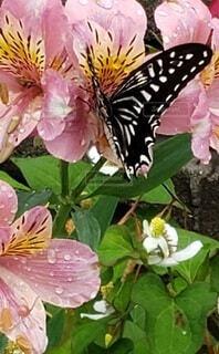 花の蜜を吸う揚羽蝶の写真・画像素材[3927597]