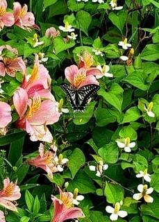 花の蜜を吸う揚羽蝶の写真・画像素材[3927598]