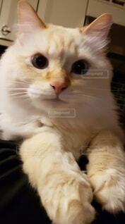 ふわふわむくむくの猫の写真・画像素材[3939850]