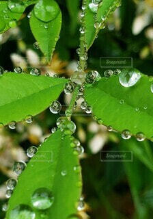 葉っぱの水滴の写真・画像素材[3976637]