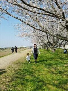桜並木を散歩する親子の写真・画像素材[4274378]