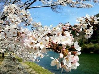 川辺に咲く桜の花クローズアップの写真・画像素材[4286271]