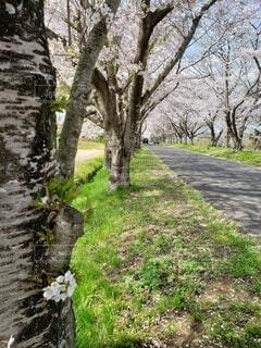 春の桜並木の散歩道の写真・画像素材[4302839]