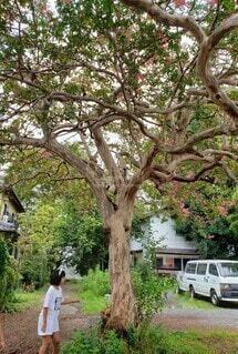 さるすべりの大木と少女の写真・画像素材[4816845]