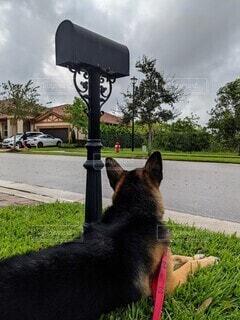 散歩途中のジャーマンシェパードが芝生の上で雨雲を観察中。の写真・画像素材[3870815]