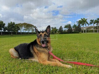 芝生の上で伏せのポーズを取る老犬ジャーマンシェパードの写真・画像素材[3902407]
