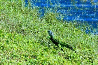 緑の芝の上でイグアナのマーチの写真・画像素材[3916160]