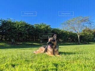 快晴の青空の下、芝生の上で伏せをするジャーマンシェパード、顔正面、耳ピン、舌出しの写真・画像素材[3916229]