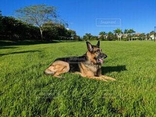 快晴の青空の下、芝生の上で伏せをするジャーマンシェパード、顔右向き、舌出しの写真・画像素材[3916230]