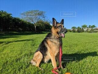 快晴の青空の下、芝生の上でおすわりをするジャーマンシェパード、顔右向き、舌出しの写真・画像素材[3916231]