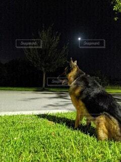 夜空の月を眺めるジャーマンシェパードの後ろ姿の写真・画像素材[3922985]