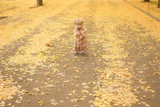 銀杏絨毯の写真・画像素材[3871747]