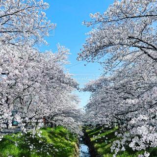 自然,空,花,春,屋外,樹木,草木,桜の花,さくら,ブロッサム