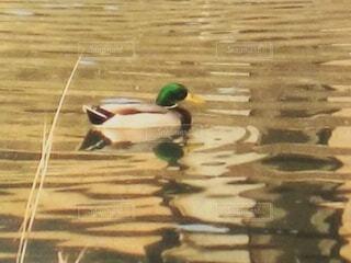 水面の鴨の写真・画像素材[3908834]