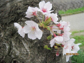 桜クローズアップの写真・画像素材[3920678]