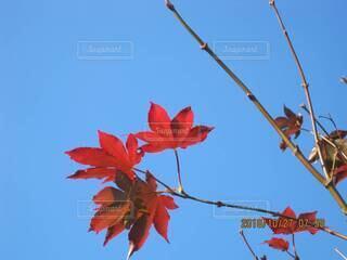 真っ赤なカエデと青い空の写真・画像素材[3920684]