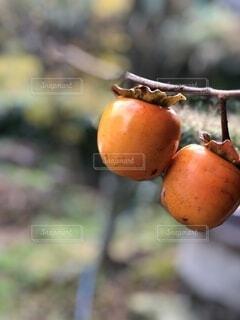 採りたての柿の写真・画像素材[3880184]