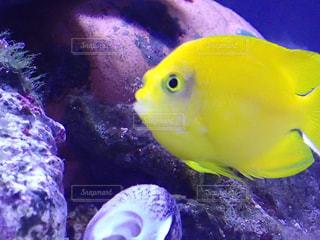 水面下を泳ぐ黄色い熱帯魚の写真・画像素材[1565040]