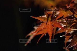 夜の空に浮かび上がる紅葉の写真・画像素材[3884944]