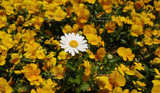 沢山のパンジーの中に咲く1輪のマーガレットの写真・画像素材[3892833]