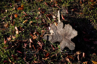 落ち葉の中に残された切り株の写真・画像素材[3894289]