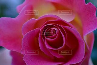 寒空の下で静かに咲くピンクの薔薇の写真・画像素材[3972026]