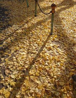銀杏の葉のじゅうたんにのびた朝の光が作る影の写真・画像素材[3972098]