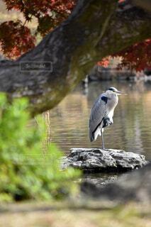 池の岩場で一本足で休憩するアオサギの写真・画像素材[3972667]