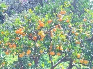 オレンジ畑の写真・画像素材[3885468]