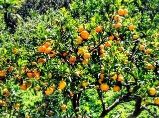 大自然に実るオレンジたちの写真・画像素材[3885553]