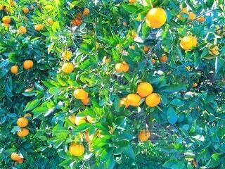 鮮やかな蜜柑たちの写真・画像素材[3887115]
