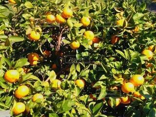 オレンジファームの写真・画像素材[3887123]