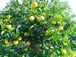 蜜柑の木の写真・画像素材[3923721]