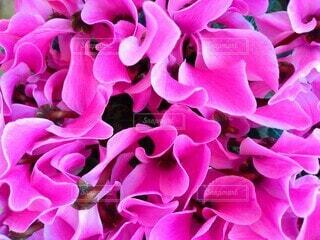 美しいピンクの花弁の写真・画像素材[3936269]