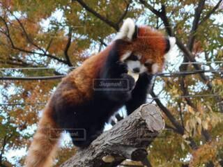 おやつを食べるレッサーパンダの写真・画像素材[3905030]