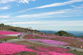 芝桜と青空の写真・画像素材[4094669]