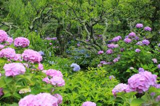雨の日の紫陽花畑の写真・画像素材[4468897]