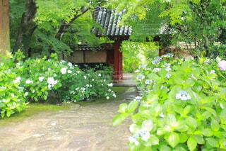 あじさい寺の大きな門の写真・画像素材[4558550]