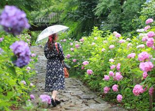あじさいの中を歩く傘をさした女性の写真・画像素材[4579576]