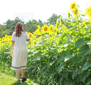 ひまわり畑を歩く女性の後ろ姿の写真・画像素材[4585732]