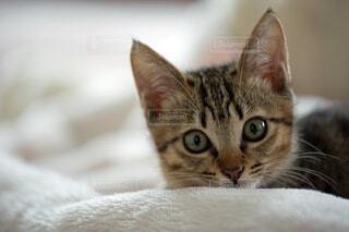 カメラ目線の子猫の写真・画像素材[3896447]