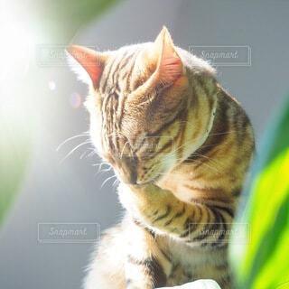 日が当たる場所で毛繕いする猫の写真・画像素材[3903665]