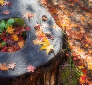 切り株と秋の紅葉の写真・画像素材[3924347]