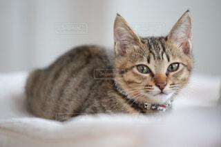 カメラを見ている子猫の写真・画像素材[3927519]