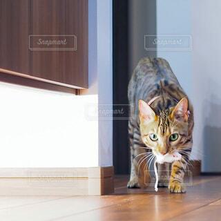 ネズミのおもちゃを咥えている猫の写真・画像素材[3933045]