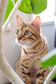 何かを見つめている猫の写真・画像素材[3936059]