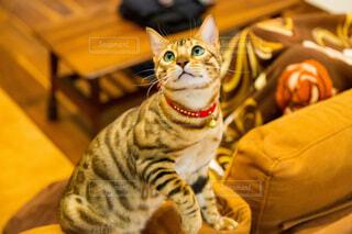 上を見ている猫の写真・画像素材[3941388]