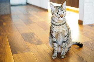 フローリングに座っている猫の写真・画像素材[3943061]