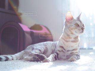 ラグの上で横たわる猫の写真・画像素材[3971567]