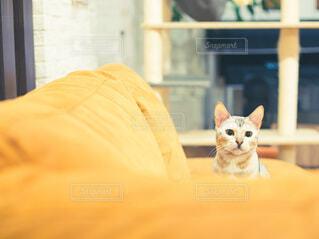 ソファーに座っている猫の写真・画像素材[3971578]
